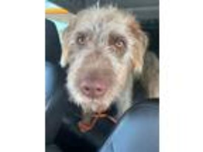 Adopt Griffon a Brown/Chocolate - with Tan Labrador Retriever / Poodle