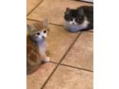 Adopt 4 Kittens a Domestic Short Hair