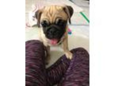 Adopt Lilo a Tan/Yellow/Fawn - with Black Pug / Mixed dog in Tracy