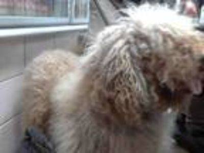 Adopt DEXTER a Red/Golden/Orange/Chestnut Golden Retriever / Poodle (Standard) /