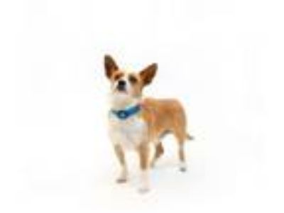 Adopt Odie a Jack Russell Terrier, Cardigan Welsh Corgi