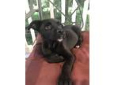 Adopt Beans a Black Boxer / Australian Cattle Dog dog in Lincolnton