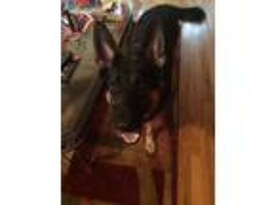 Adopt Sadie a Brown/Chocolate - with Tan German Shepherd Dog / Mixed dog in