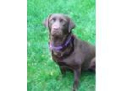 Adopt Cookie a Brown/Chocolate Labrador Retriever / Mixed dog in Morton Grove
