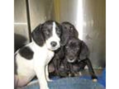 Adopt Lake Ladies (3) a White - with Black Labrador Retriever / Mixed dog in
