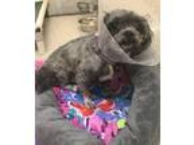 Adopt Bentley 4 Year Old a Gray/Silver/Salt & Pepper - with Black Lhasa Apso /