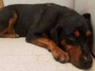 Adopt KING a Rottweiler, Mixed Breed