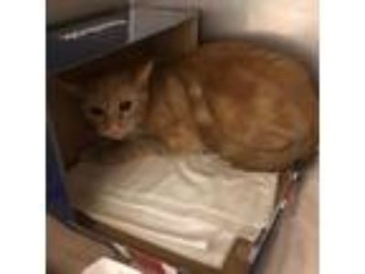 Adopt Little Daisy a Orange or Red Domestic Shorthair / Domestic Shorthair /