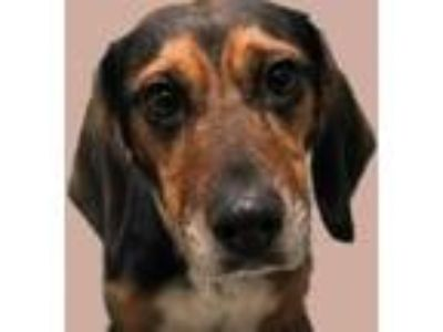 Adopt Mona a Beagle, Mixed Breed
