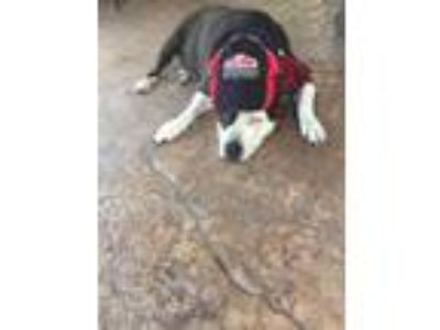 Adopt Lucy a Black - with White Bull Terrier / Bull Terrier / Mixed dog in