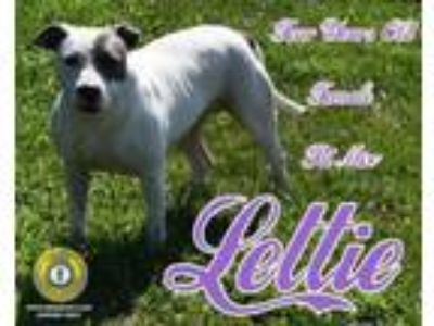 Adopt Lettie a Pit Bull Terrier