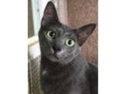 Adopt Blue a Gray or Blue Domestic Shorthair / Domestic Shorthair / Mixed cat in