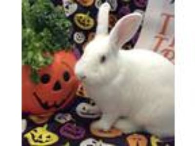 Adopt Bananapants a White New Zealand / Mixed (short coat) rabbit in Huntsville