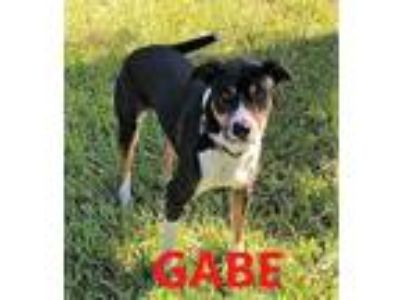 Adopt Gabe a Black - with White Bernese Mountain Dog / Mixed dog in Key Largo