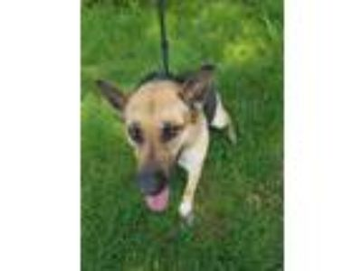 Adopt Ada a Black - with Tan, Yellow or Fawn German Shepherd Dog / Mixed dog in