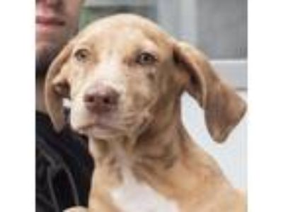 Adopt Coconut a Tan/Yellow/Fawn Shepherd (Unknown Type) dog in Middletown