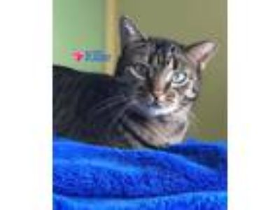 Adopt Ellie a Bengal, Domestic Short Hair