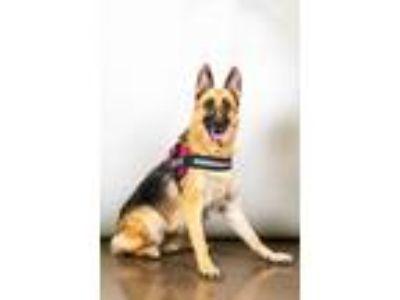 Adopt Ellen a German Shepherd Dog