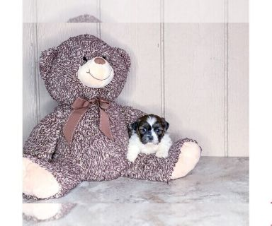 The Best Parrots In The World Shih Tzu Puppies For Sale In