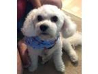 Adopt Frosty a White Bichon Frise / Mixed dog in Merriam, KS (25825156)