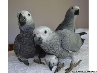 African Grey Parrot available