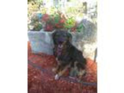Adopt Lexie a Black - with Tan, Yellow or Fawn Border Collie / Australian
