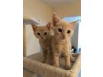 Adopt Taylor a Tan or Fawn Domestic Shorthair / Domestic Shorthair / Mixed cat