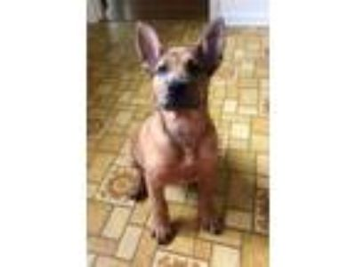 Adopt Jack a Tan/Yellow/Fawn - with Black Catahoula Leopard Dog / Chow Chow /