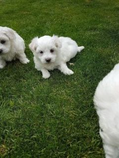 Maltese PUPPY FOR SALE ADN-96704 - Maltese puppy Need  NEW Home