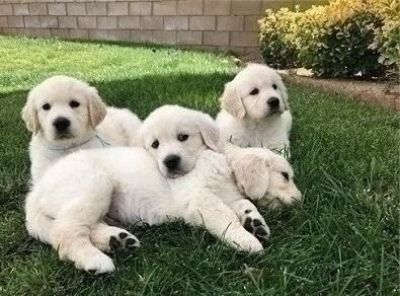 Graceful Golden Retriever Puppies Available