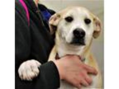 Adopt Peaches a Labrador Retriever, Hound