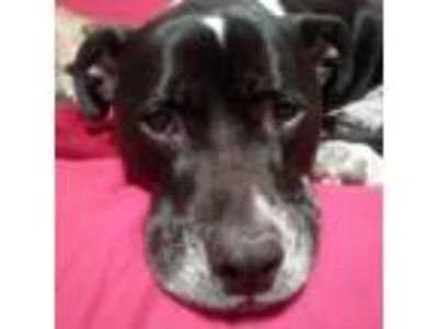 Adopt Piper a Pit Bull Terrier