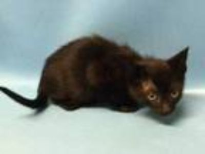 Adopt Billy Goat a All Black Domestic Shorthair / Mixed cat in Golden Valley