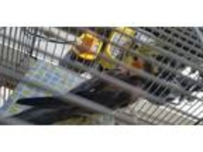 Adopt Charlie a Gray Other/Unknown / Other/Unknown / Mixed bird in Violet