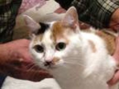 Adopt Penny a Calico or Dilute Calico Calico (short coat) cat in Beaumont
