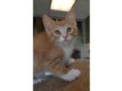 Adopt Tobasco a Orange or Red Domestic Shorthair / Domestic Shorthair / Mixed