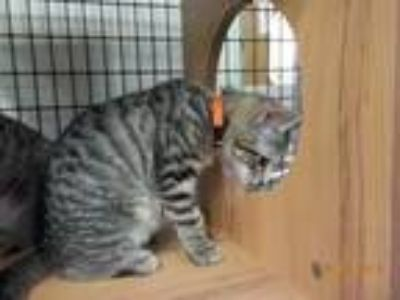 Adopt Apple Pie a Domestic Shorthair / Mixed (short coat) cat in Raleigh