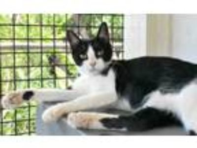 Adopt Ahe a White Domestic Shorthair / Domestic Shorthair / Mixed cat in