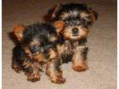 Cute Yorkie Puppies ready for new home Text [phone removed]