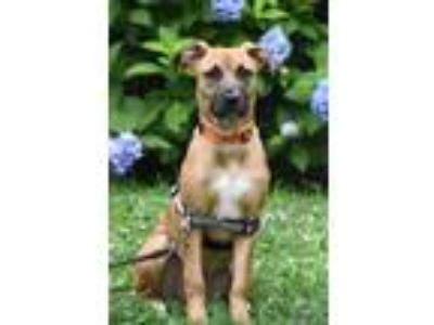 Adopt Libby a Brown/Chocolate - with White German Shepherd Dog / Pit Bull