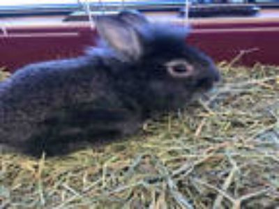 Adopt SOPHIE* a Black Other/Unknown / Mixed rabbit in Garland, TX (25361242)