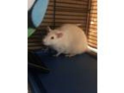 Adopt Prue, Piper, Paige, and Phoebe a Albino or Red-Eyed White Rat (short coat)