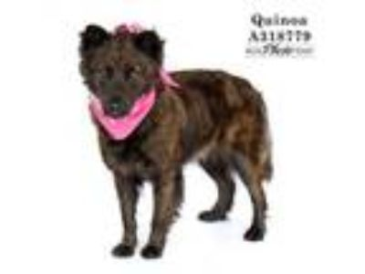 Adopt QUINOA a German Shepherd Dog, Mixed Breed