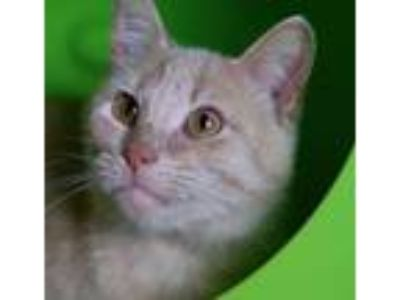 Adopt Happy Feet a Domestic Short Hair