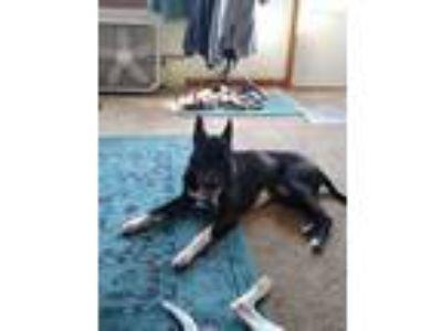 Adopt Gunner a Black - with White American Pit Bull Terrier / German Shepherd