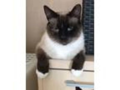 Adopt Fluff Nuts a Siamese