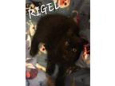 Adopt Rigel a All Black Domestic Longhair / Mixed (long coat) cat in Staten