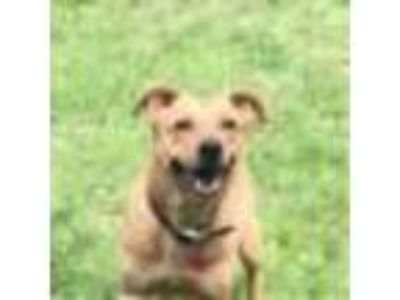 Adopt Nina a Tan/Yellow/Fawn Labrador Retriever / Golden Retriever dog in Glen