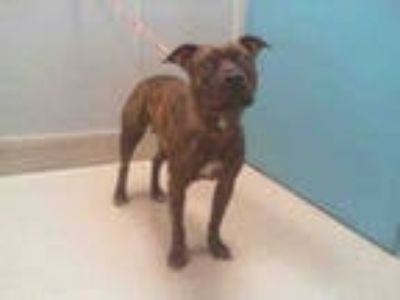 Adopt *PAM a Brindle - with White American Pit Bull Terrier / Mixed dog in Las