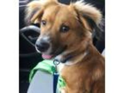 Adopt Connor a Red/Golden/Orange/Chestnut - with White Collie / Mixed dog in New